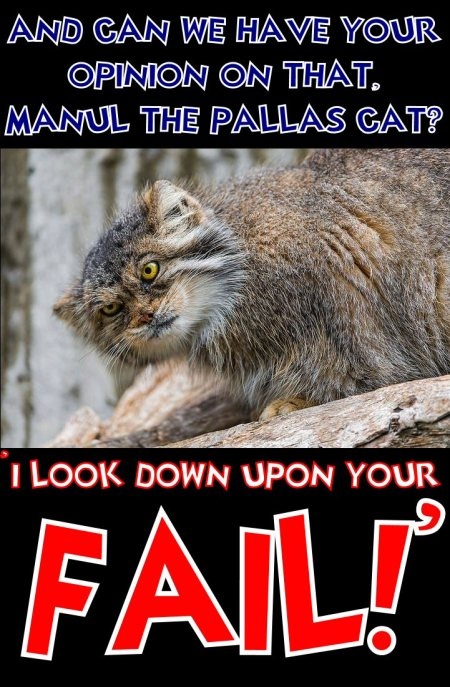 manul the pallas cat says i look down upon your fail
