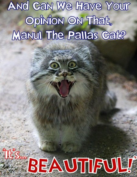manul the pallas cat says it's beautiful